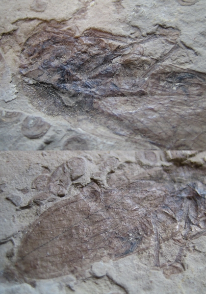 매미화석-1